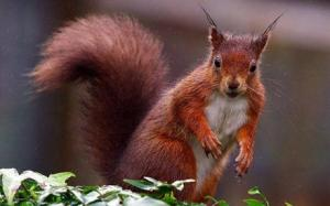 redsquirrel_1520425c